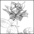 Sketches - Red Rose